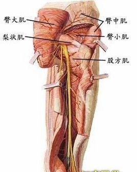 臀部的结构示意图
