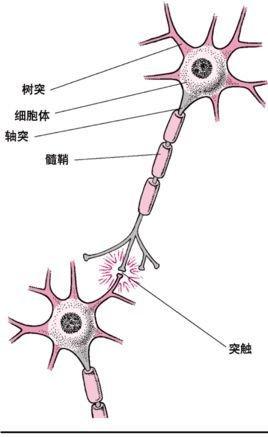 大脑皮层的神经细胞结构图