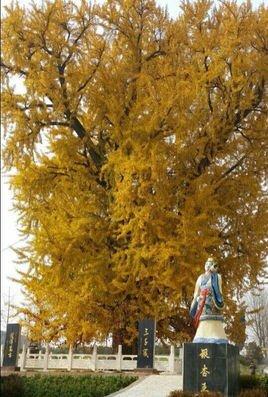 银杏树属于落叶大乔木,高达40米,胸径可达4米,幼树树皮近平滑,浅灰色