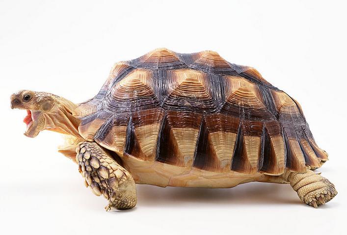 乌龟背白菜木雕摆件
