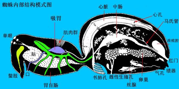 肠壁分层结构图