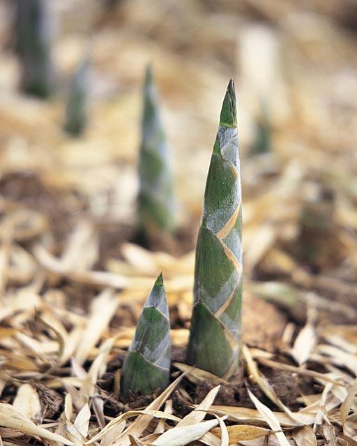 春天竹笋发芽图片