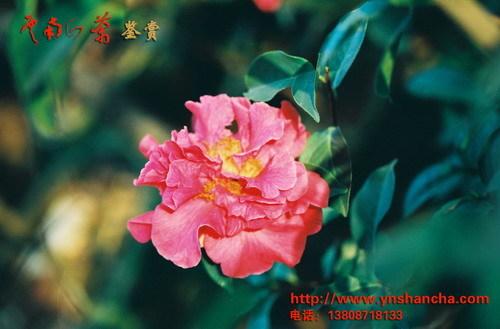 云南山茶花