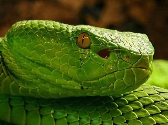 广西发现的最大蟒蛇