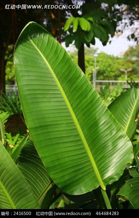 芭蕉树树叶特写图片素材下载(编号:2416500)