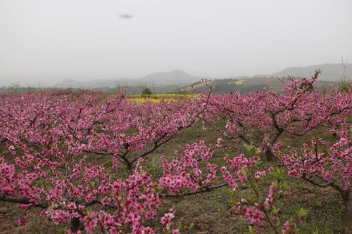 桃花山风景区顺着一条宽阔水泥路从山脚盘曲向上绕着葱绿的山梁直通山