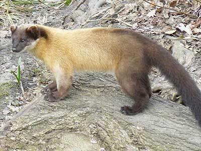 主要的食物是动物水果和腐尸. 美洲貂产于北美的丛林地带,又称松貂.