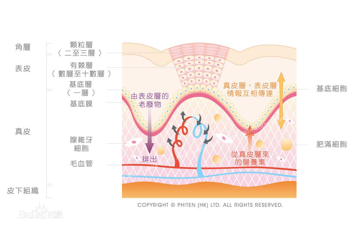 表皮是皮肤的浅层结构