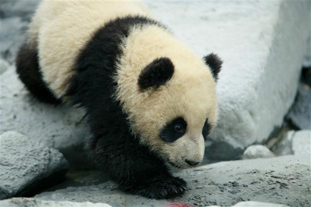 壁纸 大熊猫 动物 625_416